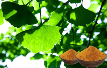 Antioxidant Ginkgo Biloba Leaf Powder , Natural Ginkgo Leaf Extract