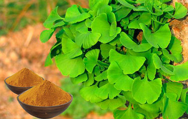 Cosmetics Ginkgo Extract USP40 Standard For Relieving Eye Fatigue